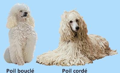 Le Caniche /caractéristiques Poil_c10