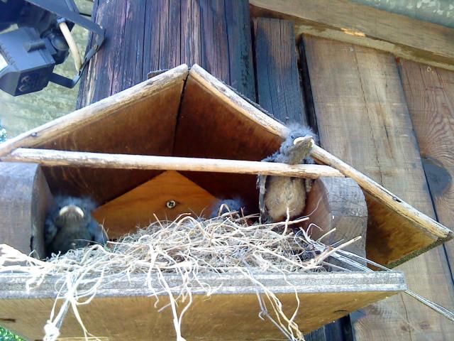 Nos oiseaux de nos jardins A_201110