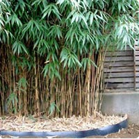 Bambou.... Bambou10