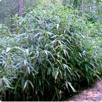 Bambou.... Bambou11