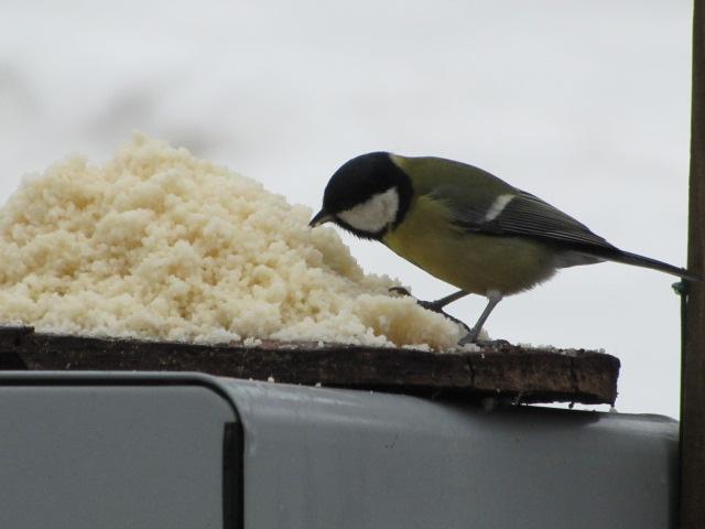 Nos oiseaux de nos jardins Janvie11