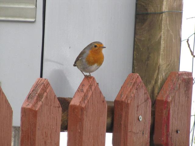 Nos oiseaux de nos jardins Janvie12
