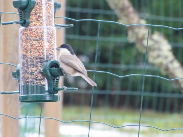 Nos oiseaux de nos jardins Janvie16