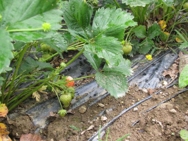 Mon potager et ces environs Pomme_11