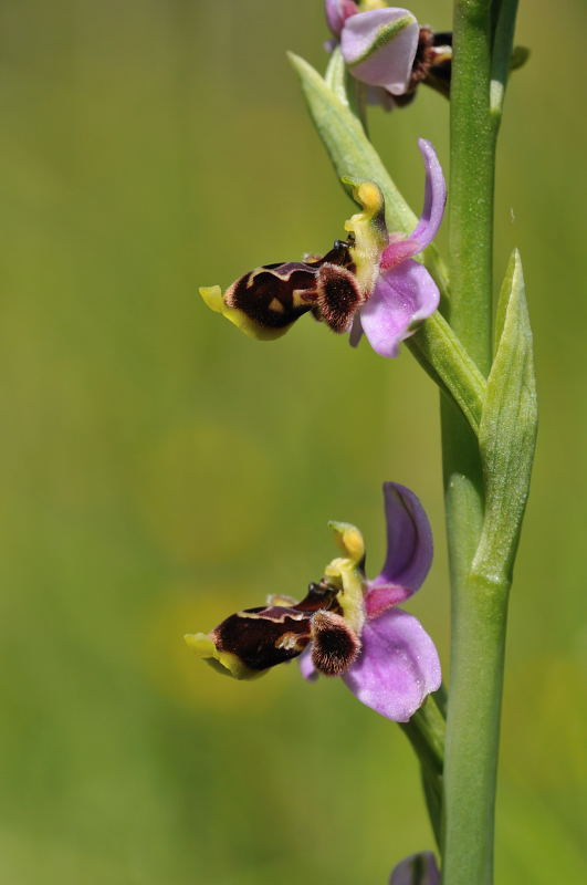 Ophrys santonica (Ophrys de Saintonge) 1010