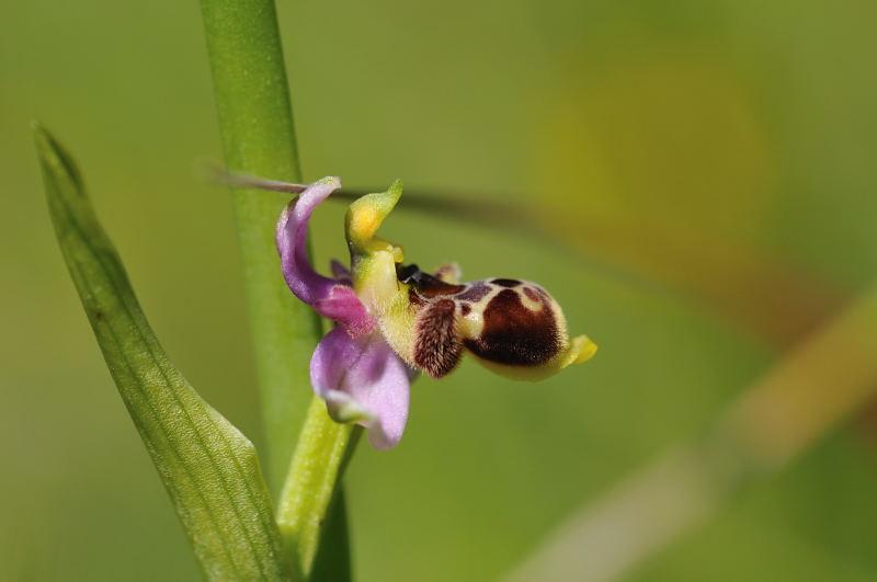Ophrys santonica (Ophrys de Saintonge) 1110