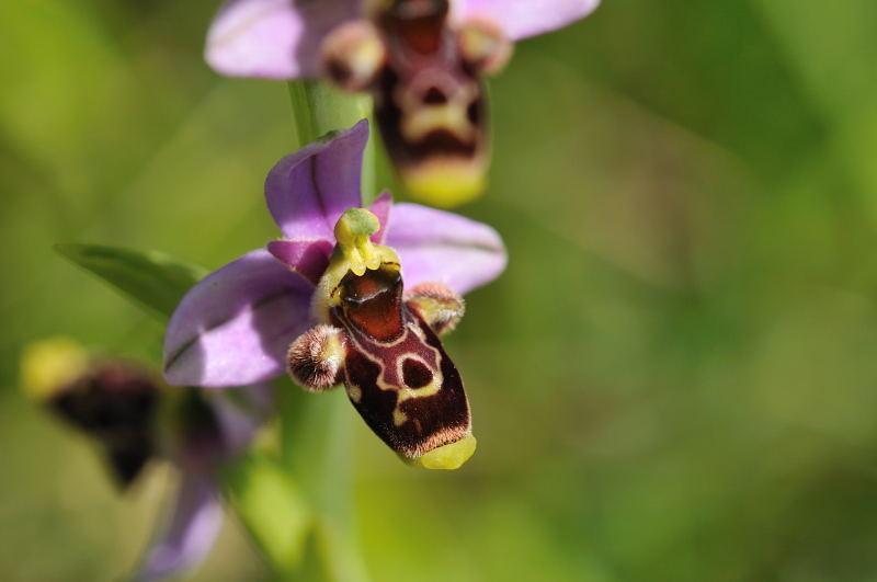 Ophrys santonica (Ophrys de Saintonge) 810