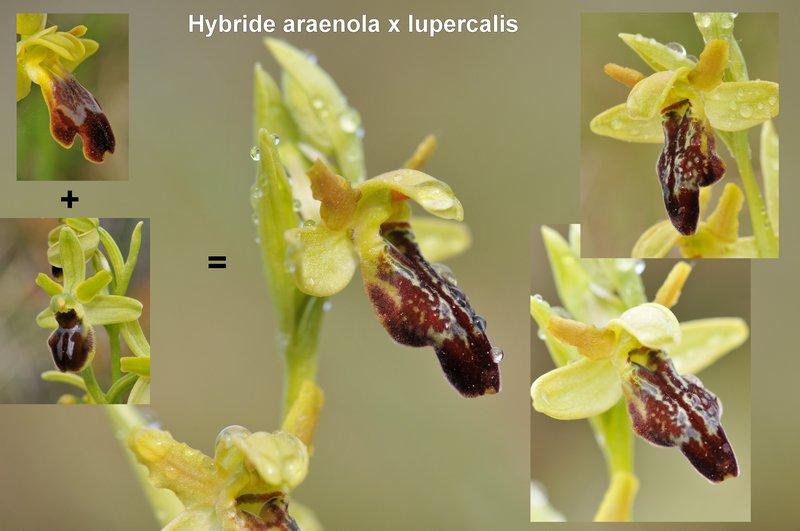 hybride araenola x lupercalis avril 2012 Envoi10
