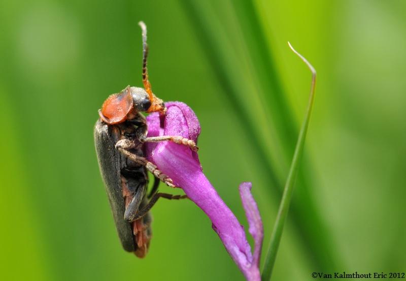 bébêtes et orchidées Vezins15