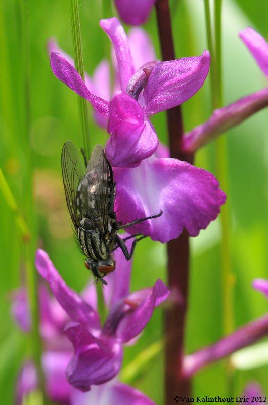 bébêtes et orchidées Vezins16