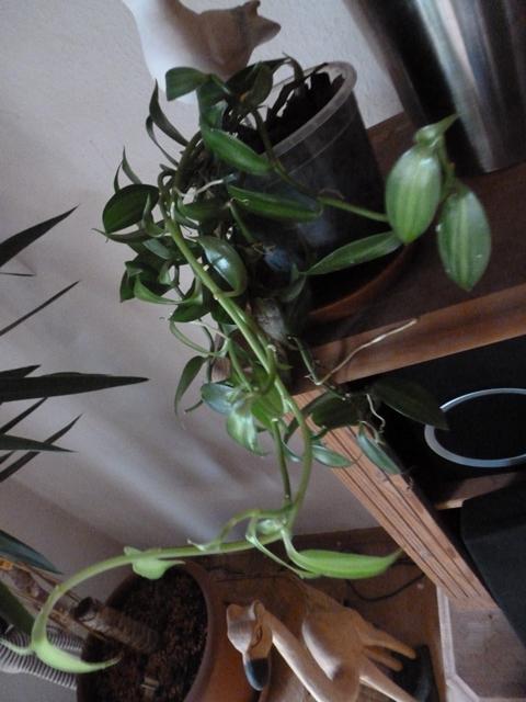 namenlose orchideen P1030218