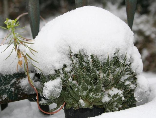 Aristaloe aristata  (= Aloe aristata) 499_9911