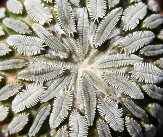 Pelecyphora aselliformis  527_2711