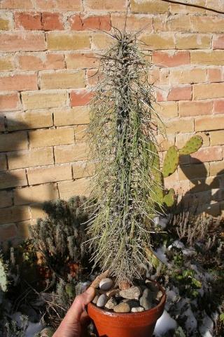 Didierea madagascariensis 542_4216