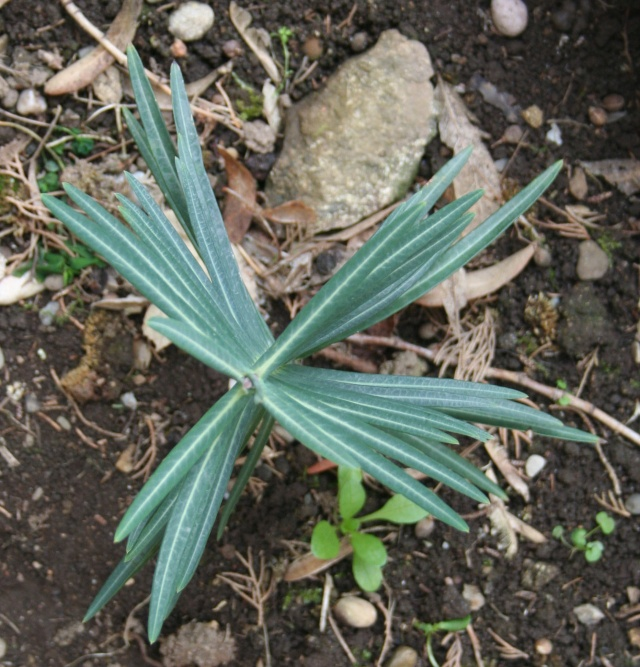 Euphorbia lathyris (= Euphorbia decussata) - euphorbe épurge 542_4222