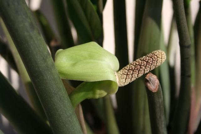 Zamioculcas zamiifolia (= Zamioculcas loddigesii) 544_4430