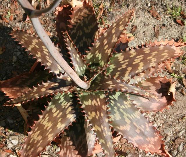 Aloe - identifications [verrouillé] - Page 3 546_4610