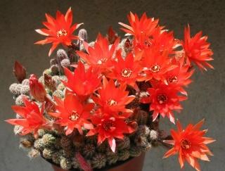 Echinopsis chamaecereus (= Chamaecereus sylvestrii) 557_5724