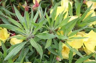 Oenothera missouriensis - onagre du Missouri 558_5824