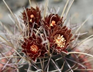 Sclerocactus uncinatus 559_5911