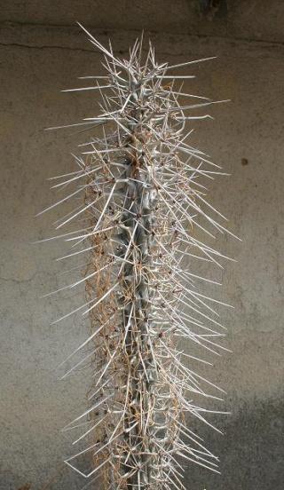 Didierea madagascariensis 559_5915