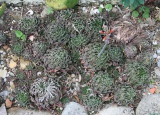 Aristaloe aristata  (= Aloe aristata) 559_5917
