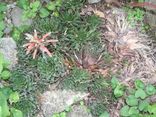 Aristaloe aristata  (= Aloe aristata) 559_5918