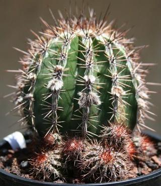 Echinopsis 'Hakûjô' 559_5921