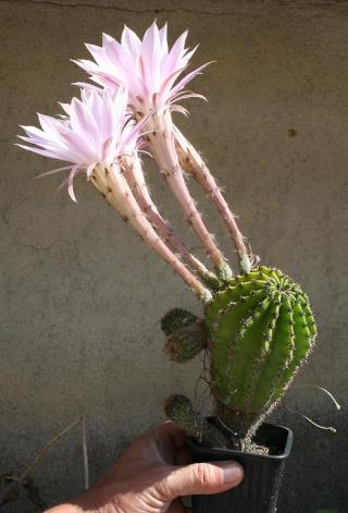 Echinopsis oxygona (= Echinopsis eyriesii v. grandiflora) 561_6112