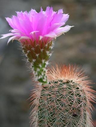 Echinocereus reichenbachii 82183510