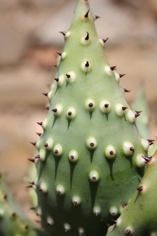 Aloe aculeata Copie_30