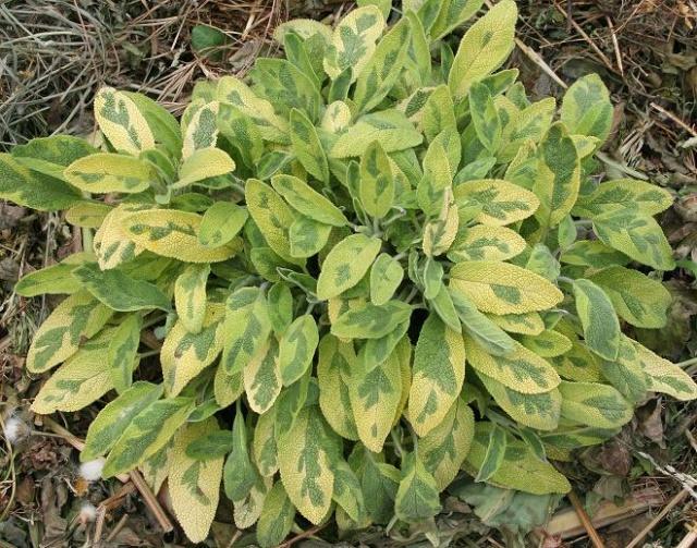 Houttuynia cordata, Spinacia oleracea, Salvia officinalis, Aloe x 'Green Sand'  [devinette] Copie_37