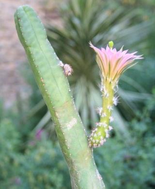 Echinocereus scheeri var. gentryi Copie_40