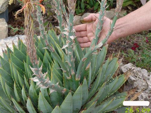 Aloe polyphylla Dsc00411