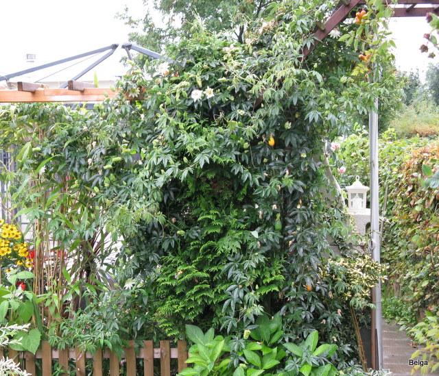 """Passiflora - Passionsblume - kleine """"Juwelen"""" - alles über Aussaat, Pflege, Vermehrung und natürlich Blütenbilder :) - Seite 2 Img_0510"""
