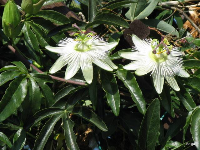 """Passiflora - Passionsblume - kleine """"Juwelen"""" - alles über Aussaat, Pflege, Vermehrung und natürlich Blütenbilder :) - Seite 2 Img_0610"""