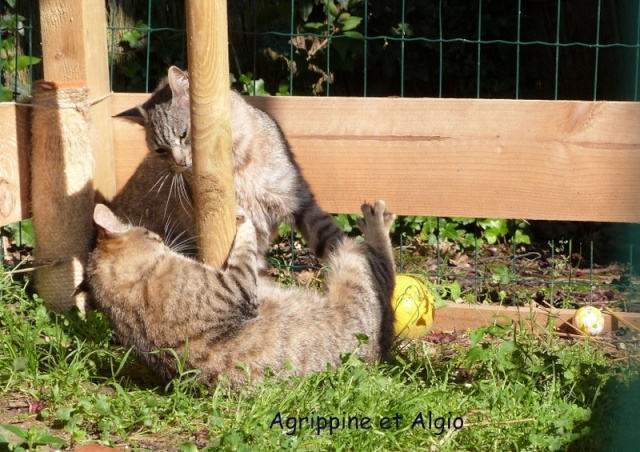 Altissima, Agrippine, Isaac, Algio adoptés - Salina, Révara et Mezzo au ciel P1020115