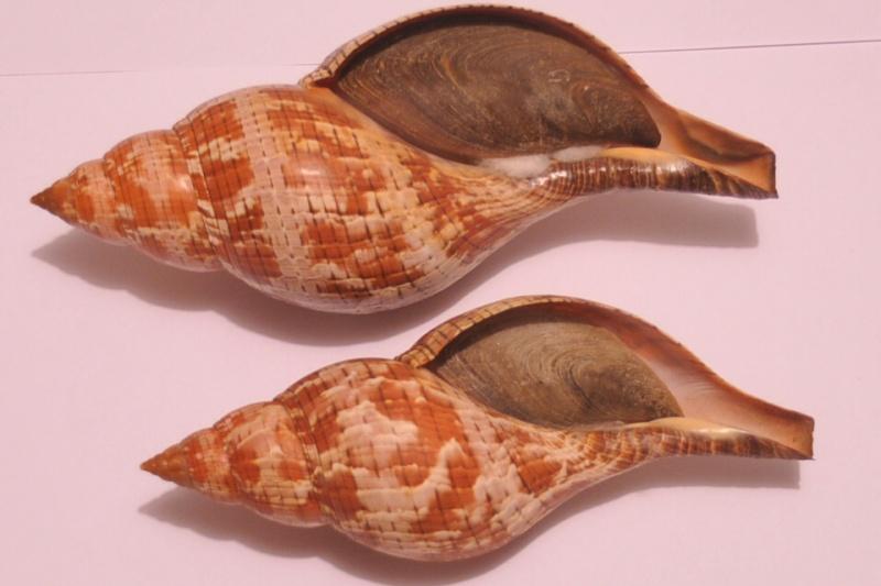 Fasciolaria tulipa - (Linnaeus, 1758) Dsc_3422