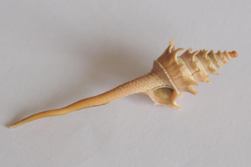 Columbariidae - Columbarium pagoda - (Lesson, 1831) Dsc_3545