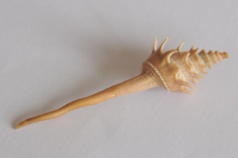 Columbariidae - Columbarium pagoda - (Lesson, 1831) Dsc_3546