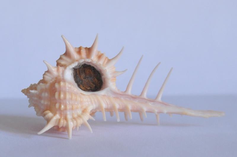 Vokesimurex cabritii - (Bernardi, 1859) Dsc_3729