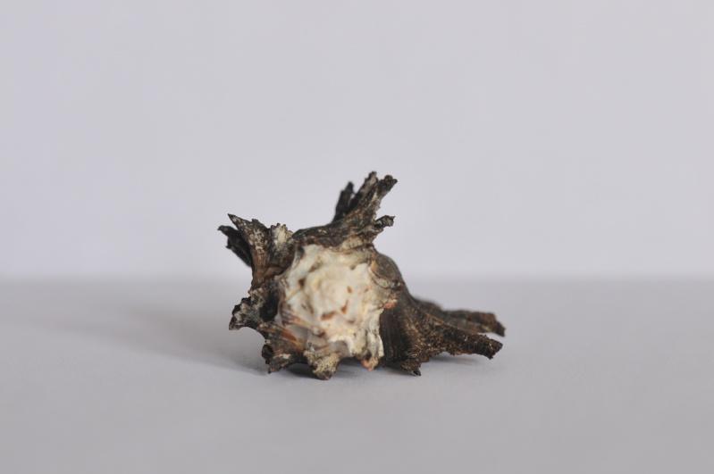 Homalocantha scorpio - (Linnaeus, 1758) Dsc_3841