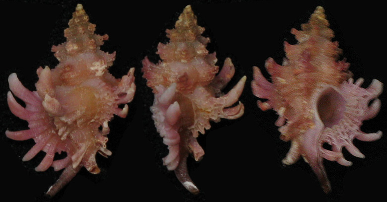 Favartia mactanensis - (Emerson & D'Attilio, 1979) M_mact10