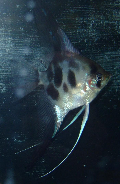 A Few Angelfish images Dscf0012