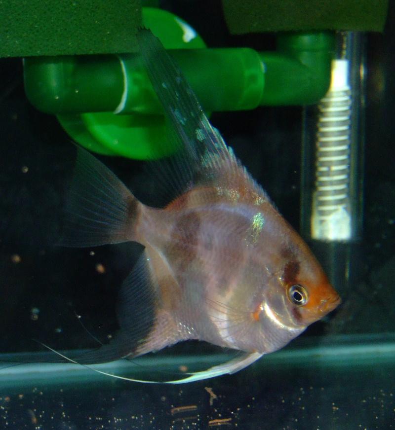 A Few Angelfish images Dscf0013