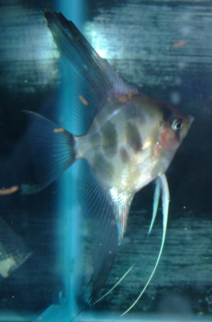 A Few Angelfish images Dscf0014