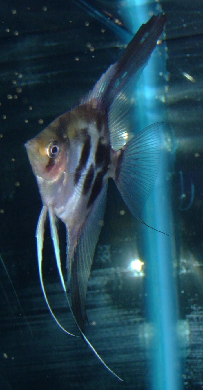 A Few Angelfish images Dscf0015