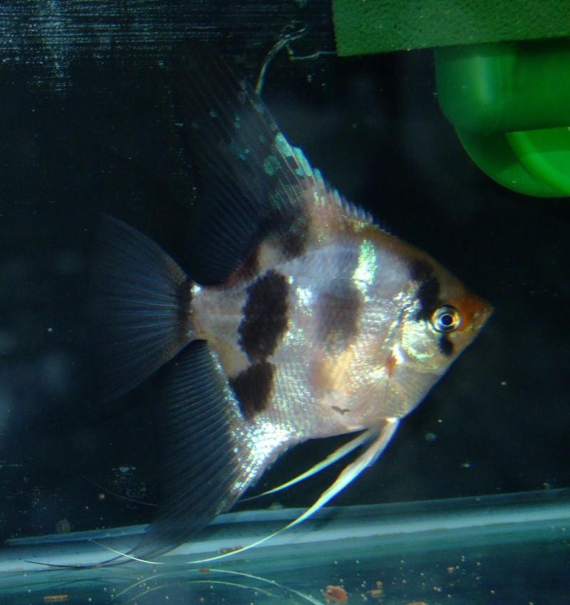 A Few Angelfish images Dscf0016