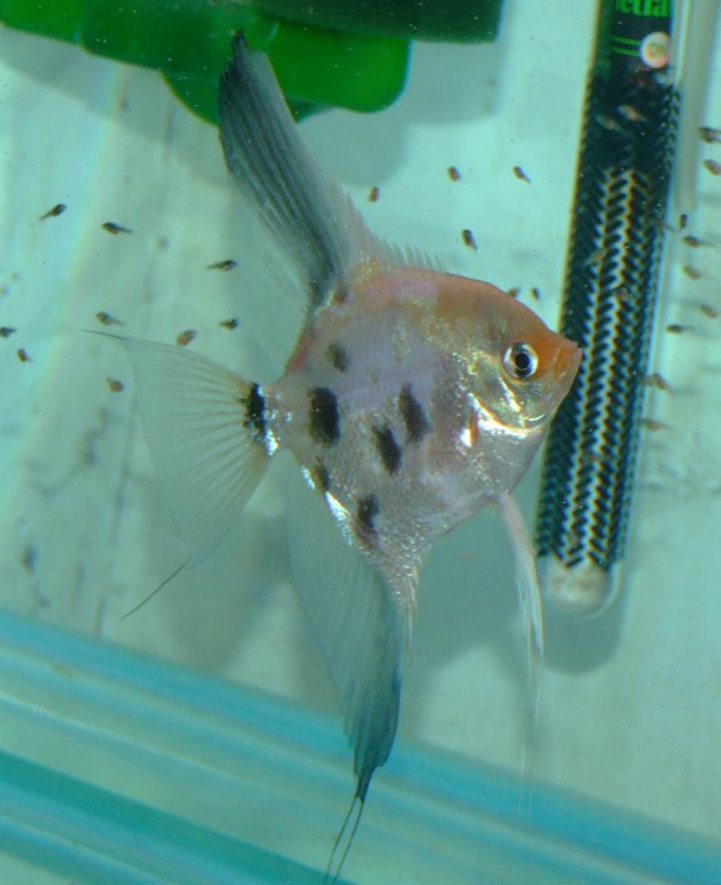 A Few Angelfish images Dscf0017