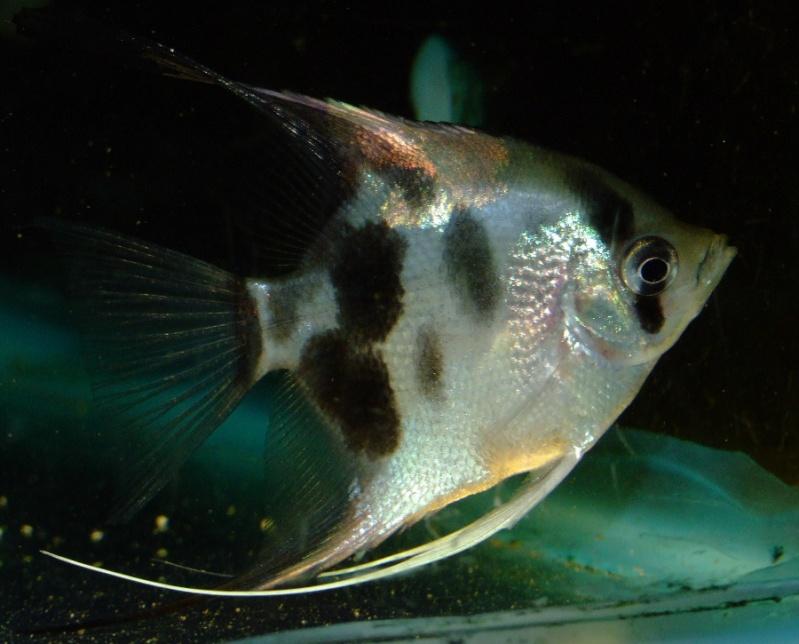 A Few Angelfish images Dscf0110